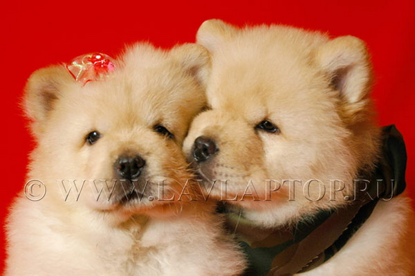 Питомник чау-чау гамми эксклюзив фотогалерея собак